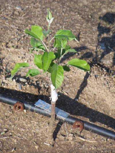 Как сажать деревья косточками 970